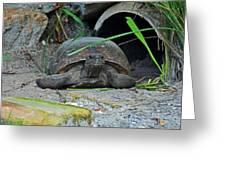 Gopher Tortoise II Greeting Card