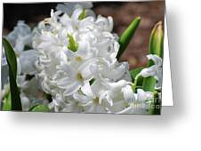 Goregeous White Flowering Hyacinth Blossom Greeting Card