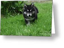 Gorgeous Alusky Puppy Dog Creeping Through Grass Greeting Card
