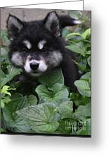 Gorgeous Alusky Puppy Playing Hide And Seek  Greeting Card