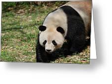 Gorgeous Black And White Giant Panda Bear Walking Greeting Card