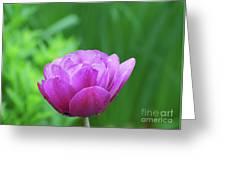 Gorgeous Blooming And Flowering Dark Pink Parrot Tulip Greeting Card