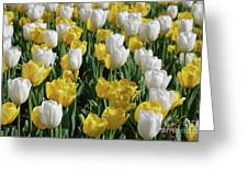 Gorgeous Blooming Field Of White And Yellow Tulips Greeting Card