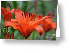Gorgeous Blooming Orange Lily Flowering In A Garden Greeting Card