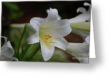 Gorgeous Blooming White Lily With Yellow Pollen On It's Stamen Greeting Card