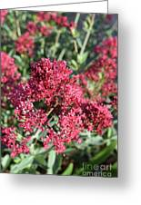 Gorgeous Cluster Of Red Phlox Flowers In A Garden Greeting Card