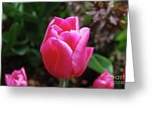 Gorgeous Dark Pink Tulip Blooming In A Garden Greeting Card