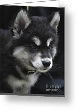 Gorgeous Eight Week Old Alusky Puppy Dog Greeting Card