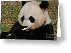 Gorgeous Face Of A Giant Panda Bear With Bamboo Greeting Card