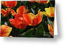 Gorgeous Flowering Orange And Red Blooming Tulips Greeting Card