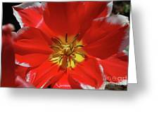 Gorgeous Flowering Red Tulip With A Yellow Center Greeting Card
