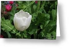 Gorgeous Flowering White Tulip In A Spring Garden Greeting Card