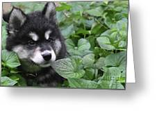 Gorgeous Fluffy Alusky Puppy Peaking Out Of Plants Greeting Card