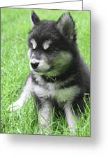 Gorgeous Fluffy Black And White Husky Puppy In Grass Greeting Card