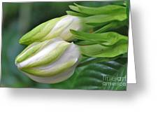 Best Buds Gorgeous Gardenia Flower Buds Greeting Card