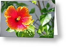 Gorgeous Hibiscus Greeting Card