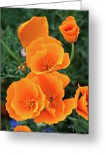 Gorgeous Orange California Poppies Greeting Card