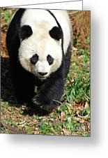 Gorgeous Sweet Giant Panda Bear Ambling Along Greeting Card