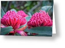 Gorgeous Waratah -floral Emblem Of New South Wales Greeting Card