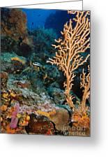 Gorgonian Greeting Card