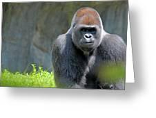 Gorilla Stare Greeting Card