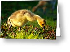 Gosling In Spring Greeting Card by Paul Ge