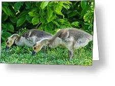 Goslings Greeting Card