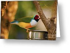 Gouldian Finche Greeting Card