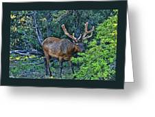 Grand Canyon # 33 - Grazing Elk Greeting Card