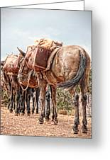 Grand Canyon Pack Mules Greeting Card