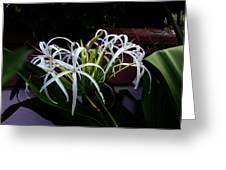 Grand Crinum Lily Greeting Card