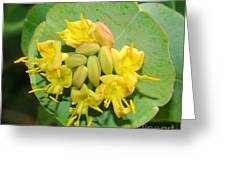 Grape Honeysuckle Greeting Card