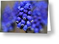 Grape Hyacinth - Muscari Greeting Card