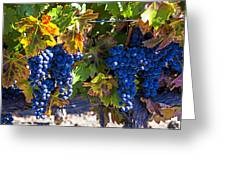 Grapes Ready For Harvest Greeting Card
