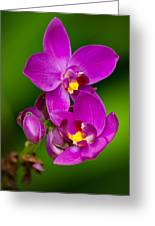 Grapette Ground Orchid Greeting Card