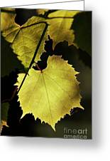 Grapevine In The Back Lighting Greeting Card by Michal Boubin