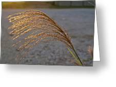 Grassflowers In The Setting Sun Greeting Card by Douglas Barnett