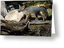 Gray Fox Greeting Card