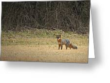 Gray Fox In Lower Pasture Greeting Card