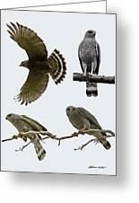 Gray Hawk Collage Greeting Card