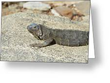 Gray Iguana Sunning And Resting On A Large Rock Greeting Card