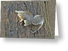 Gray Squirrel - Sciurus Carolinensis Greeting Card