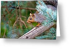 Gray Squirrel Pictures 93 Greeting Card