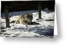 Gray Wolf 2 Greeting Card