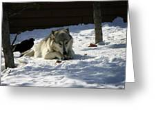 Gray Wolf 3 Greeting Card