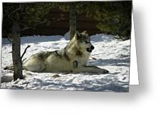 Gray Wolf 6 Greeting Card