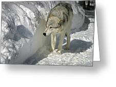 Gray Wolf 7 Greeting Card