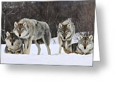 Gray Wolves Norway Greeting Card