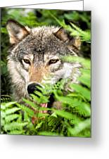 Gray Wolf In The Woods Greeting Card