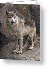 Gray Wolf On A Rock Greeting Card